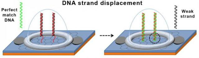 Schematic of DNA strand displacement on the graphene biosensor chip