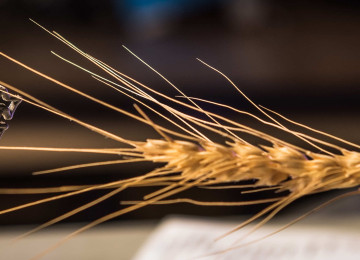 Graphene aerogel is so lightweight that one of awn wheat can hold it without bending.